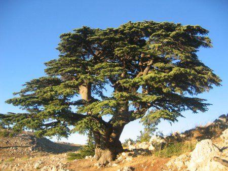 мощное дерево - выбор в тесте сад
