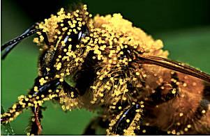 лечение пыльцой