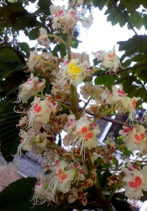 цветки каштана употребление да народное лечение