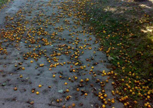 9 полезных свойств абрикоса, отличие от жерделы, польза кураги