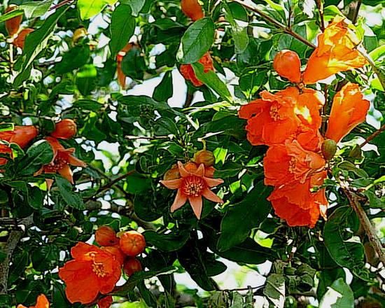 гранат цветет - польза фрукта