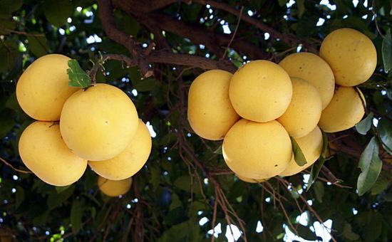 грейпфрут на дереве - польза фрукта
