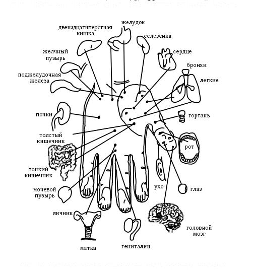 Проекция органов на ладони