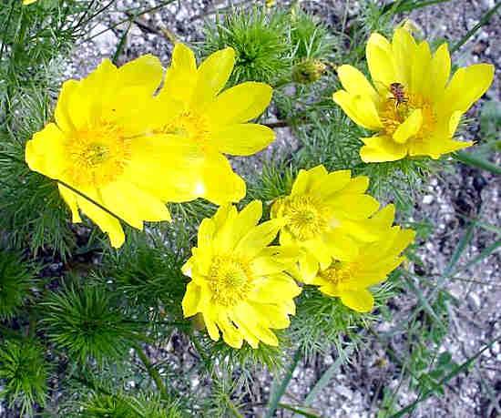 горицвет адонис весенний