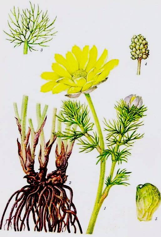 Трава адониса - применение и противопоказания горицвета весеннего