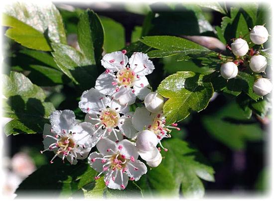 боярышника цветы полезные свойства