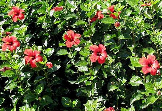 гибикус - каркаде как растет