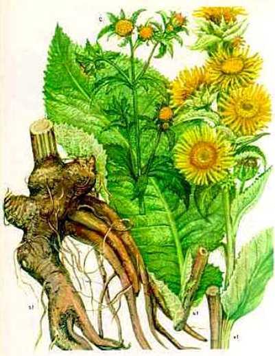 лечебные свойства корней девясила