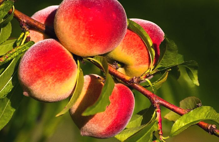 персики на ветке