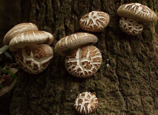 лечение рака грибами