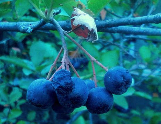 польза и противопоказания черноплодной рябины