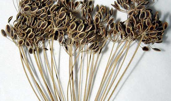 семена укропа польза для организма