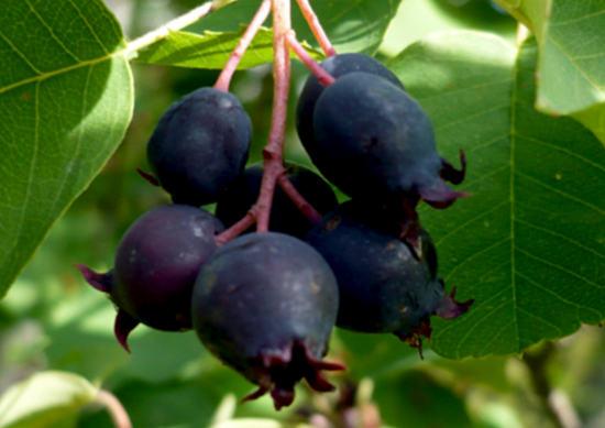 ирга, полезные свойства и противопоказания ягоды