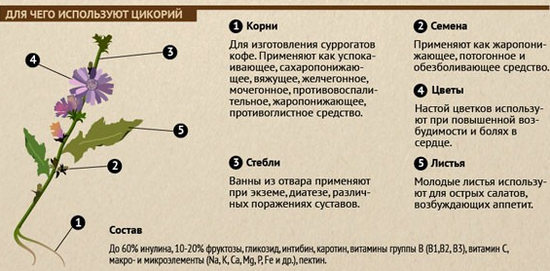 применение цикория - полезные свойства