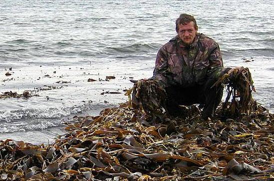 сбор ламинарии , польза морской капусты