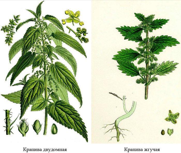 отличия крапивы жгучей и двудомной