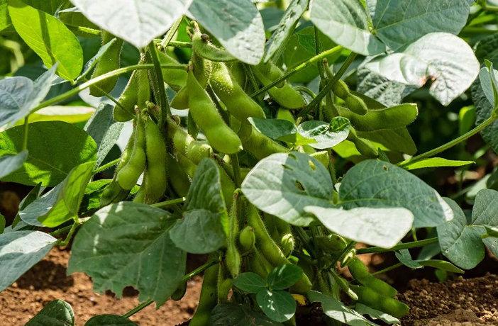 растение соя как выглядит фото