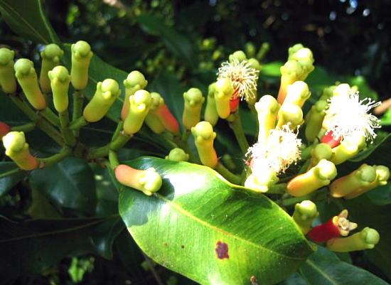 гвоздичное дерево - бутоны