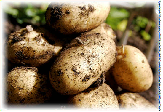 картофель: польза и вред