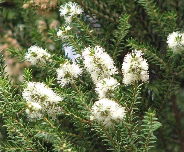 австралийское чайное дерево