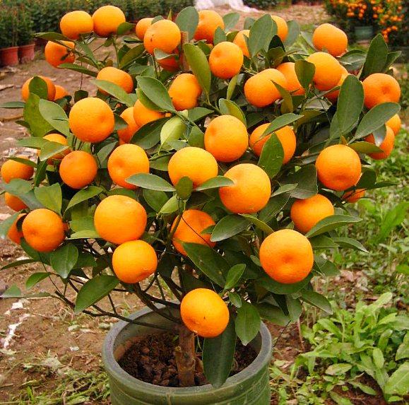как растет мандарин