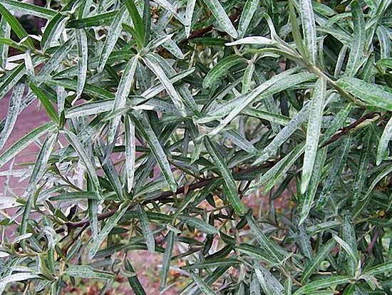 листья облепихи - польза и противопоказания