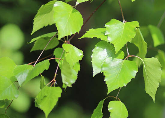 березовый лист