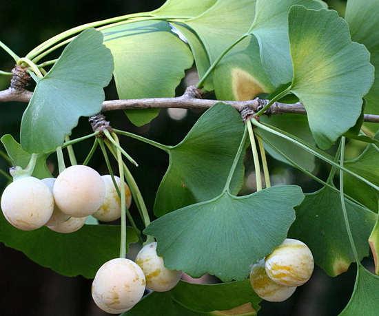 гинкго билобо с плодами полезные свойства