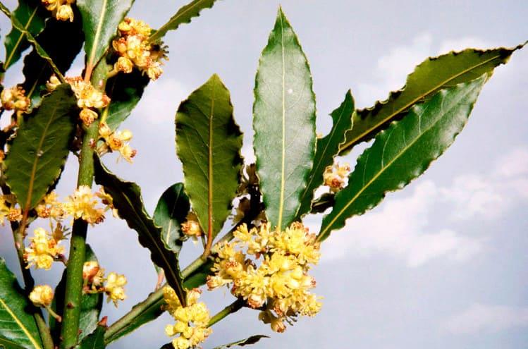 лавр благородный - листья и цветы