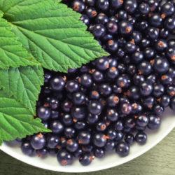 Черная смородина — полезные свойства и противопоказания, чай