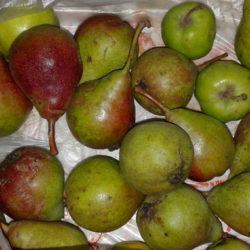 Груша — польза и вред для организма, применение листьев, семечек, как хранить