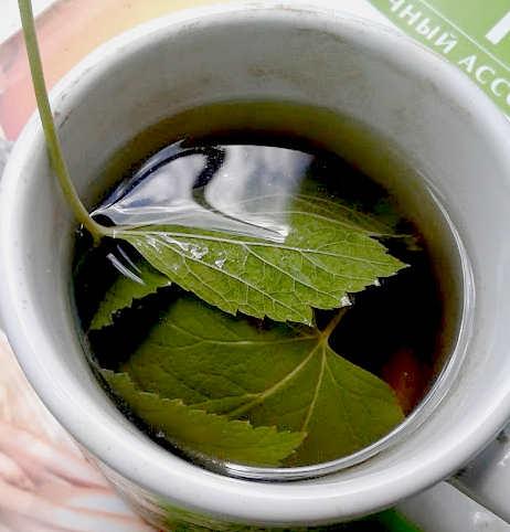 настой листьев черной смородины