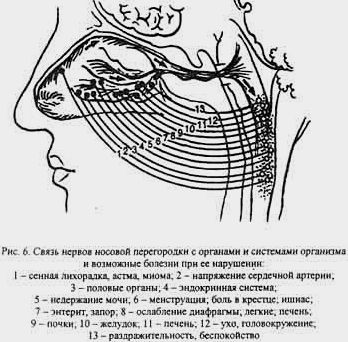 связь нервов носовой перегородки с другими органами и системами