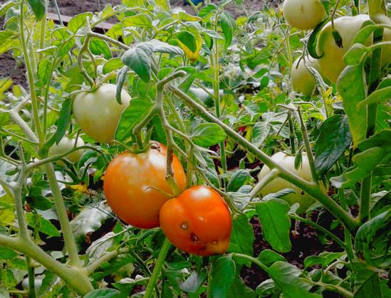 как помидоры растут