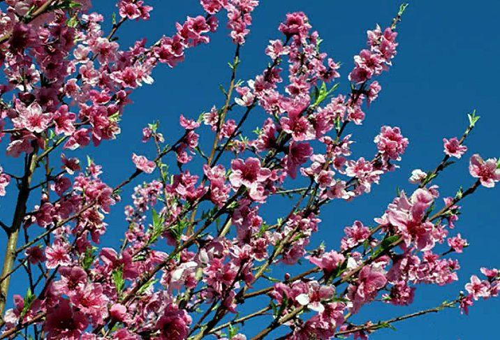 как цветет фрукт нектарин