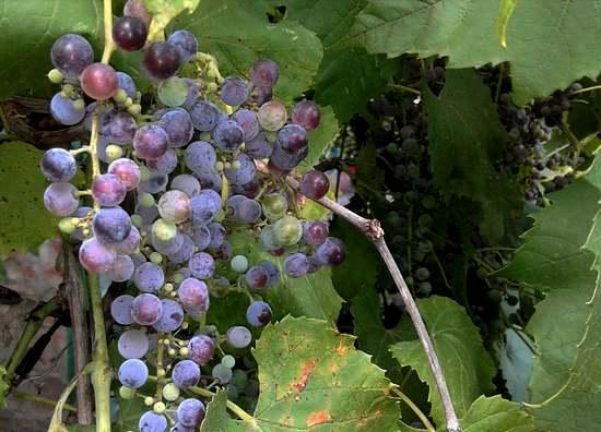 Виноград - польза и вред для организма, лечебное применение