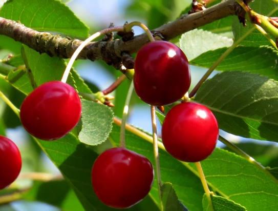 вишня на дереве