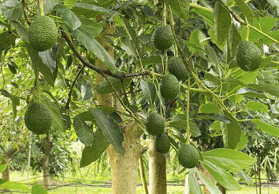 Авокадо овощ или фрукт википедия