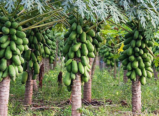 папайя - полезные свойства
