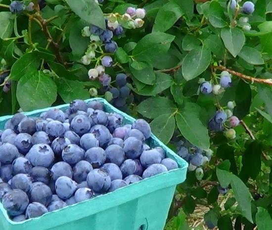 голубика ягоды полезные свойства и противопоказания