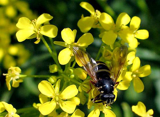 мед из донника