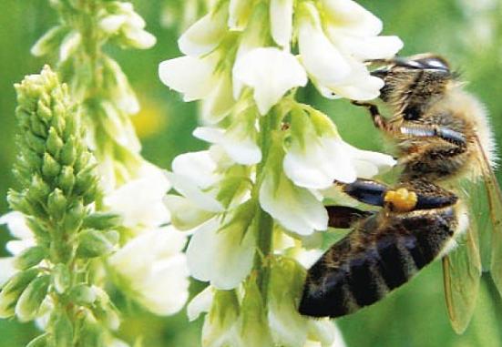 Донник – полезные свойства и противопоказания травы