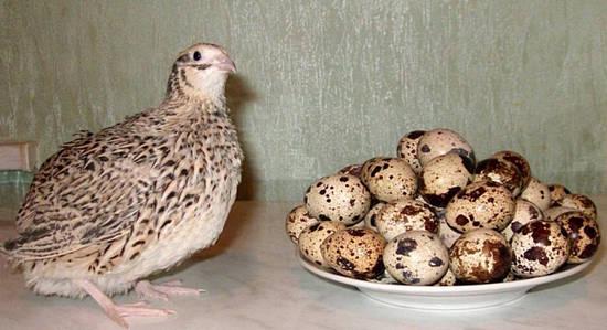 противопоказания перепелиных яиц