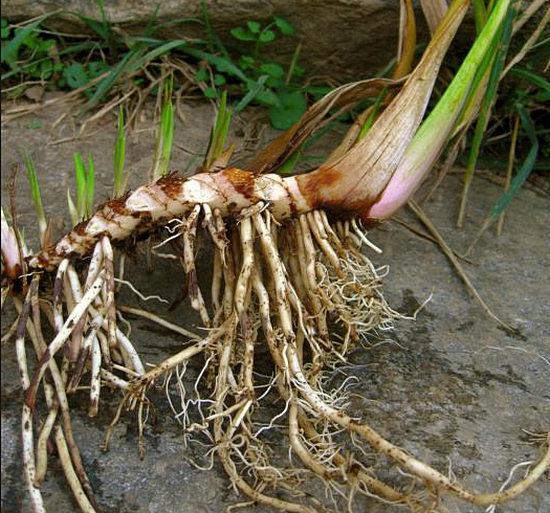 корень аира лечебные свойства