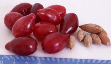 Кизил – полезные свойства и противопоказания ягод, косточек, варенья