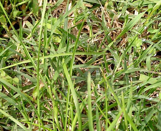Пырей трава