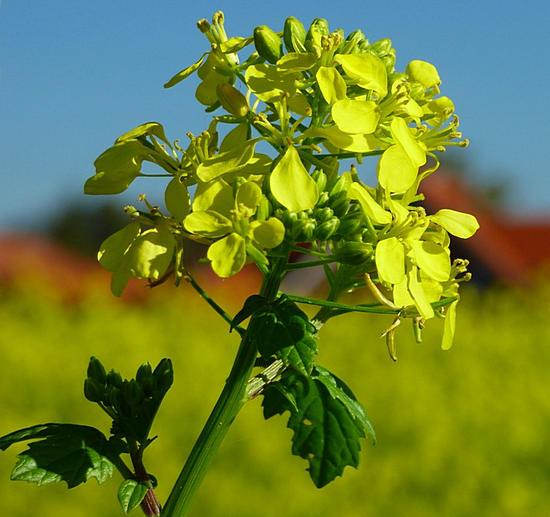 растение горчица - полезные свойства