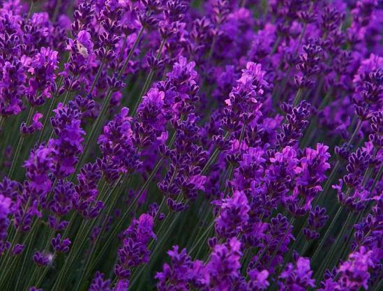 фото лаванды цветов