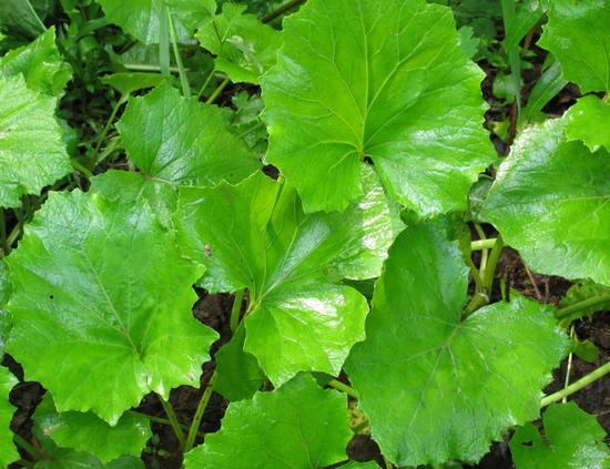 листья мать-и-мачехи свойства лечебные