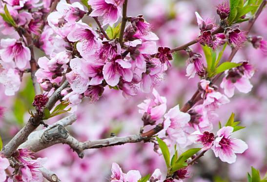 как растет миндаль и цветет